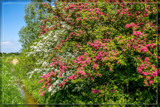 Red And White Flowered Hawthorn by corngrowth, photography->nature gallery