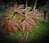 Maple Leafs by picardroe, photography->macro gallery