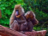 Mandrill sisters by biffobear, photography->animals gallery