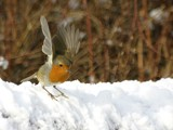 Robin- snow by pom1, Photography->Birds gallery