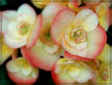 Apple Blossom Begonia by trixxie17, photography->flowers gallery