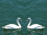 Swan dance by rvdb, photography->birds gallery