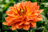 Dahlia Show 41 by corngrowth, photography->flowers gallery
