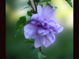 Rose of Sharon by tealeaves, Photography->Flowers gallery