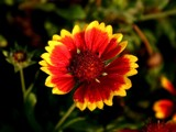 Dawn-time Gaillardia Flower by yodergoat, photography->flowers gallery
