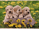 Siblings in dandelions by Lindzy, Photography->Pets gallery
