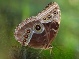 Morpho butterfly by Paul_Gerritsen, Photography->Butterflies gallery