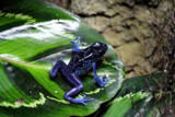 Poison Dart Frog by Pistos, photography->reptiles/amphibians gallery
