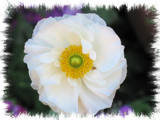 Ranunculus asiaticus in white by skapie, Photography->Flowers gallery