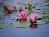 Water Lilies 1 by gerryp, Photography->Flowers gallery