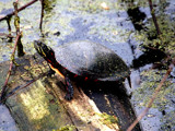 Painted Turtle 2 by gerryp, Photography->Animals gallery