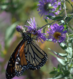 A Monarch Butterfly by tigger3, photography->butterflies gallery