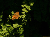 out of the shadows by enon, Photography->Butterflies gallery