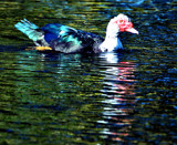 Reflections of an Ugly Duck by SR21, Photography->Birds gallery