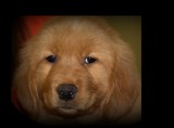 Little Goldie by tigger3, photography->pets gallery