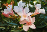 Morning Oleander by trixxie17, photography->flowers gallery
