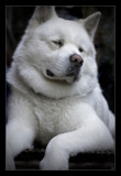 Akita by JQ, photography->pets gallery