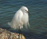 Elegant Egret by lilu103, Photography->Birds gallery