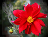 Red for remembrance by LynEve, photography->flowers gallery