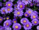 Asters in the Rain by trixxie17, photography->flowers gallery