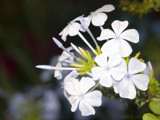 Plumbago auriculata var. Alba by ryzst, Photography->Flowers gallery