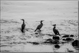 Cormorants 'On Station' by corngrowth, contests->b/w challenge gallery
