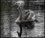 Reflective Poise by tigger3, contests->b/w challenge gallery