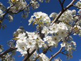 New Hampshire Cherry Blossoms by Skynet5, Photography->Flowers gallery