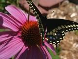 Flutterbye by DrPepper89, Photography->Butterflies gallery