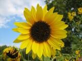 Flowersun by Hottrockin, Photography->Flowers gallery