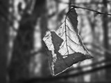 Backlit Leaf by bfrank, contests->b/w challenge gallery