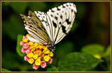 Butterfly 11 of 12 by corngrowth, Photography->Butterflies gallery