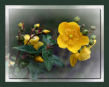 Hypericum perforatum by LynEve, photography->flowers gallery