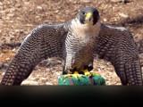 Strutter by Hottrockin, Photography->Birds gallery