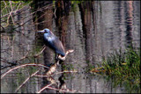 Little Blue Heron by allisontaylor, Photography->Birds gallery