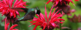 Hummingbird Among The Bee Balm #2 by tigger3, photography->birds gallery