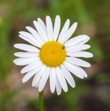 Single Daisy, Single Bug by Pistos, photography->flowers gallery