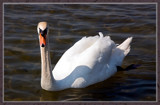 Just A....Swan by corngrowth, Photography->Birds gallery