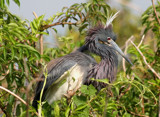 Heron in Mating Feathers and Crown by Vivianne, Photography->Birds gallery