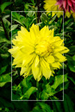 Dahlia Show 29 by corngrowth, photography->flowers gallery