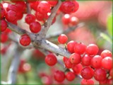red berries for Christmas:) by madmaven, Photography->Nature gallery