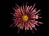 Fireworks by jeffpratt, Photography->Flowers gallery