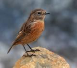 Stonechat by biffobear, photography->birds gallery