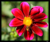 Sunlit Dahlia_2nd posting by tigger3, photography->flowers gallery
