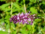 Butterfly Bush by thebitchyboss, photography->flowers gallery