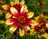 "Coreopsis ""Route 66"" by trixxie17, photography->flowers gallery"