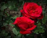 Roses are red by picardroe, photography->flowers gallery