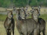 Water Bucks by hermanlam, Photography->Animals gallery
