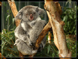Momma And Baby Koala by Jimbobedsel, photography->animals gallery