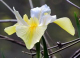 Pale Yellow Iris by Pistos, photography->flowers gallery